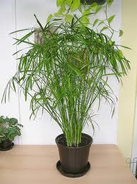 Cyperus alternifolius 5